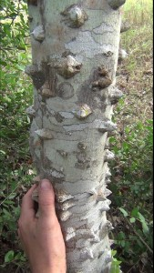 Toothache Tree Trunk